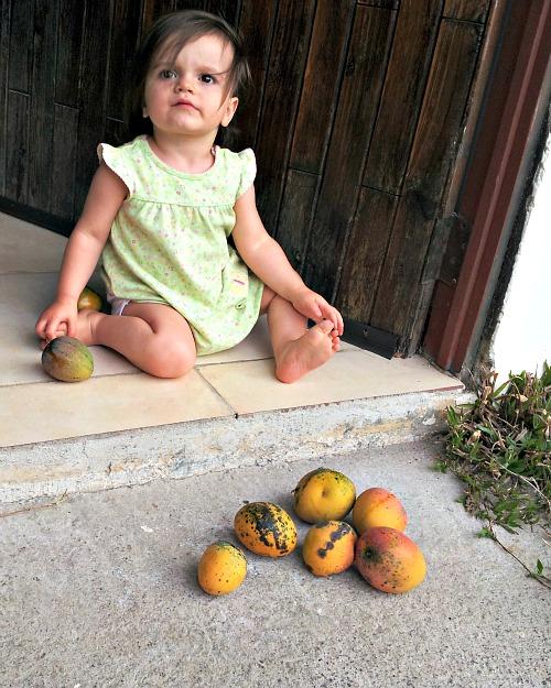 mango-picking