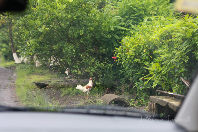 Chickens in the Road in Tivives, Costa Rica | Jellibean Journals
